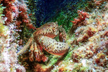Warty Crab on Reef Underwater Eriphia verrucosa