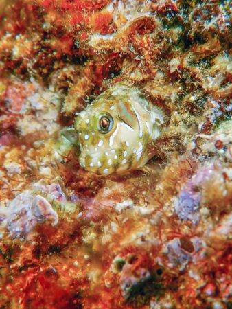Portrait Of Cute Blenny fish, Close up