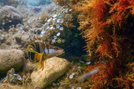 Painted Comber (Serranus scriba) Mediterranean Sea Underwater Stok Fotoğraf