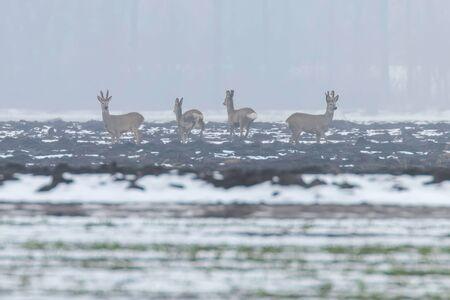 Roe Deer herd in winter morning (Capreolus capreolus)