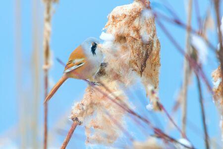 Cute little bird, Bearded tit, male Bearded reedling (panurus biarmicus)