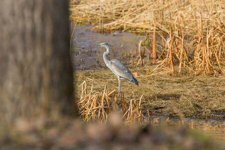 The hunting Grey Heron (Ardea cinerea) at Waters Edge