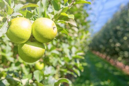 Green Ripe Apples in Orchard, Apple Trees  Stock Photo