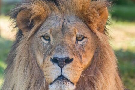 Close-up of Lion Head, Portrait of an Adult Lion