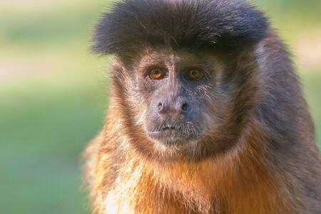 Tufted Capuchin Portrait (Cebus apella)
