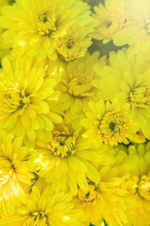 Blühende gelbe Chrysantheme im Herbstgarten, Hintergrund mit blühender Chrysantheme.