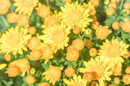 Flowering Yellow Chrysanthemum in Autumn Garden, Background with Blossoming Chrysanthemum.
