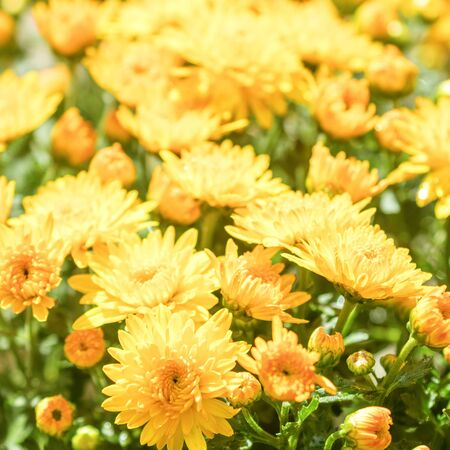 Flowering Yellow Orange Chrysanthemum in Autumn Garden, Background with Blossoming Chrysanthemum.