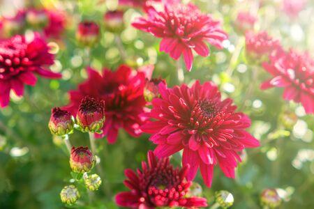 Flowering Red Chrysanthemum in Autumn Garden, Background with Blossoming Chrysanthemum.