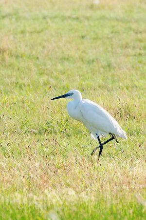 Great Egret (Ardea alba) Common Egret