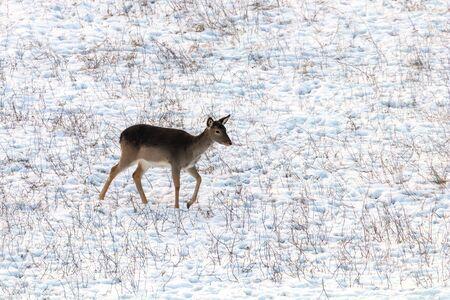 Fallow deer female snow winter (Dama Dama) Stock Photo