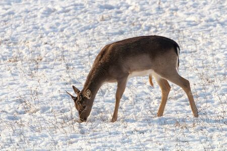 Fallow deer young buck snow winter (Dama Dama)