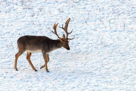 Fallow deer buck snow winter landscape (Dama Dama)