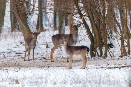 Fallow deer snow forest landscape (Dama Dama)