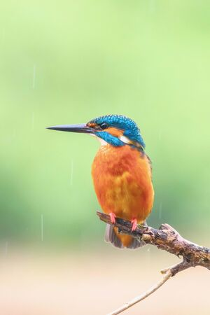 Common Kingfisher in Light Rain (Alcedo atthis) Eurasian Kingfisher Bird Bitting on a Branch