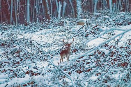 Fallow deer buck snow forest landscape (Dama Dama)