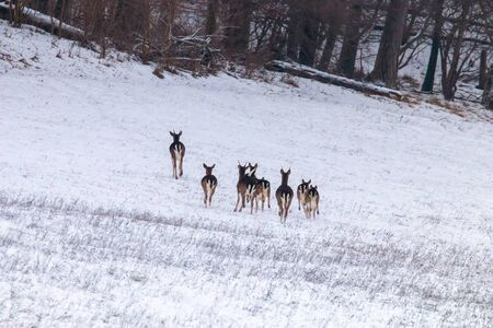 Fallow deer herd snow forest landscape (Dama Dama) Stock Photo