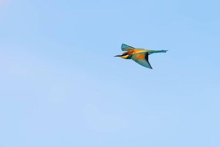European Bee-Eater In Flight (Merops Apiaster) Stok Fotoğraf