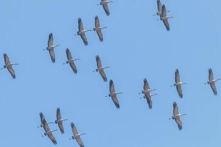 Flying flock of Common Crane (Grus grus) in flight blue skies, migration