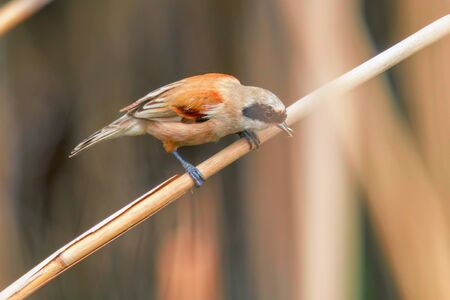 Eurasian Penduline Tit Sitting on Reed  (Remiz pendulinus)