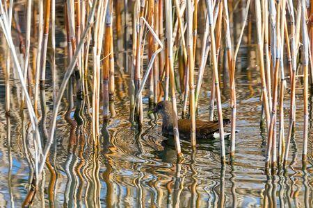 MoorhenSwimming on Water (Gallinula chloropus)Common Moorhen Stock Photo