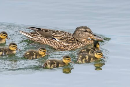 Ducklings Swimming, Mallard Duck Babies on Water Surface