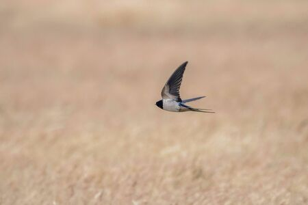 Barn Swallow Flying (Hirundo rustica)
