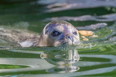 Harbor Seal (Phoca vitulina) in Water