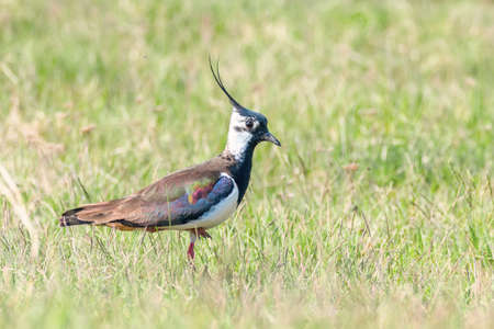 Lapwing, Northern Lapwing in the grass (Vanellus vanellus) Peewit