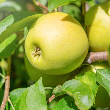 Yellow Ripe Apples in Orchard, Apple Tree, Golden Delicious
