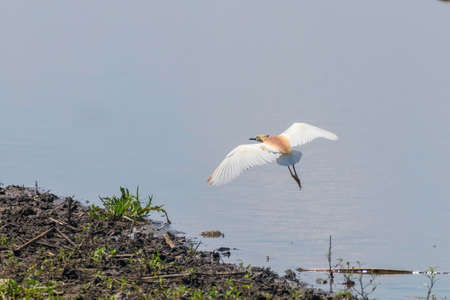 Squacco Heron in Flight (Ardeola ralloides) Banque d'images