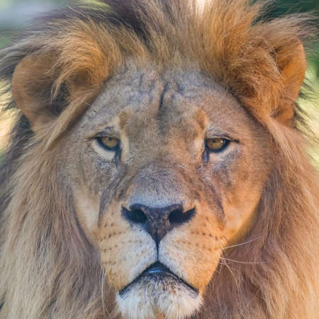 Close-up of Lion Head, Portrait of an Adult Lion Stockfoto