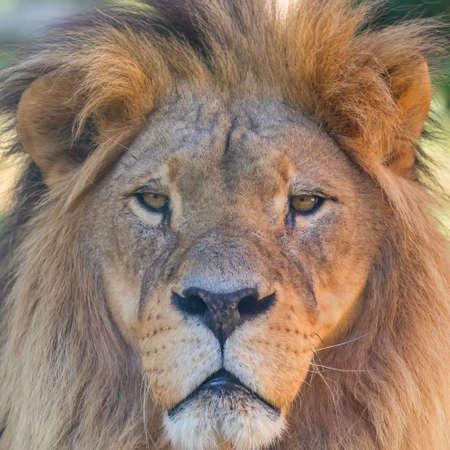 Close-up of Lion Head, Portrait of an Adult Lion Imagens