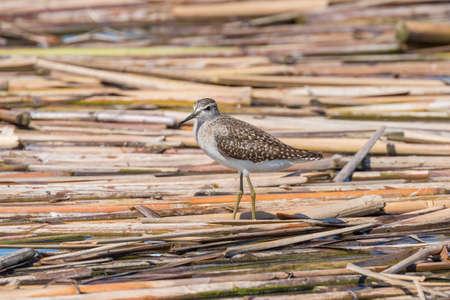 Sandpiper, Wood Sandpiper (Tringa glareola) Wader Bird Sandpiper