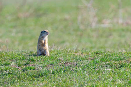 European ground squirrel, Souslik (Spermophilus citellus) natural environment
