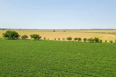 Green ripening soybean field. Rows of green soybeans Aerial.