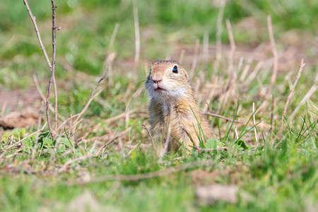 Souslik (Spermophilus citellus) European ground squirrel in the natural environment