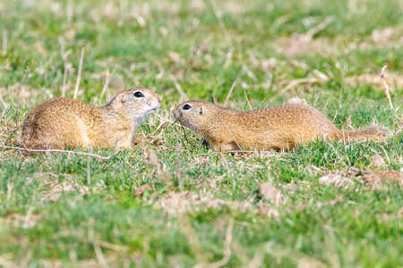 European ground squirrels, Souslik (Spermophilus citellus) natural environment