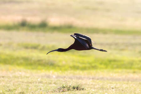 Glossy Ibis in Flight (Plegadis falcinellus)