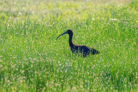 Glossy Ibis (Plegadis falcinellus) Wading Bird