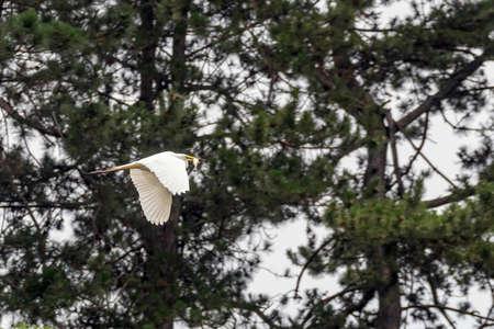 Great Egret Flying with Fish in beak (Ardea alba) Wildlife
