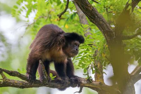 Tufted Capuchin on Tree (Cebus apella)