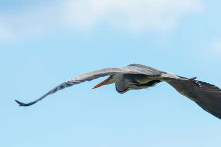 Grey Heron Flight (ardea herodias) Grey Headed Heron Flying 版權商用圖片