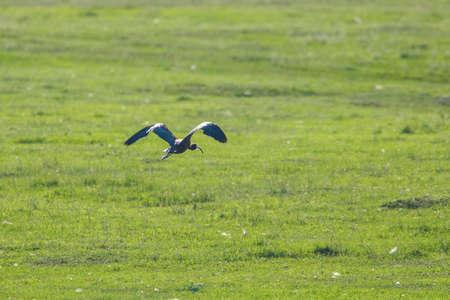 Glossy Ibis in Flight (Plegadis falcinellus)