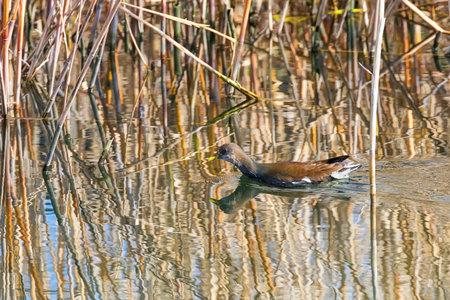 Moorhen Swimming on Water (Gallinula chloropus) Common Moorhen
