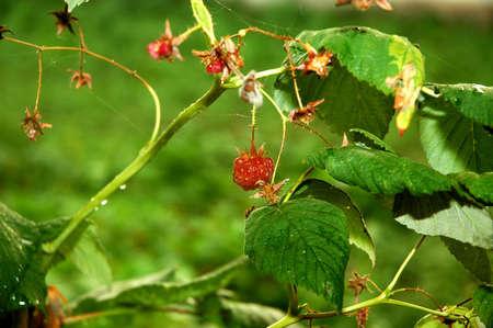 red bush: red bush berries