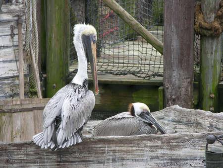 Pelicans resting Banco de Imagens