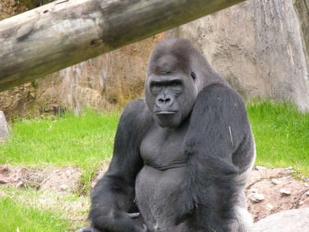 lowland: Lowland Gorilla Stock Photo