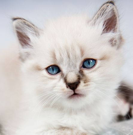 Portrait of a kitten, peeling clear, blue eyes photo