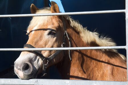 gascony: Horse for sale is waiting for buyers at the fair in horses of Vic-Fezensac, France (Gascony).